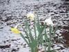 Snow_daffodil